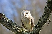 Barn Owl on a branch - Sologne France