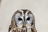 Portrait of Tawny Owl - Sologne France