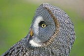 Portrait of Great Grey Owl - Sologne France