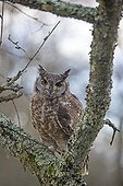Spotted Eagle-Owl on a branch - Sologne France