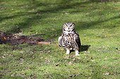 Great Horned Owl on ground - Sologne France