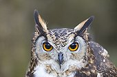 Portrait of  Cape Eagle-Owl  - Sologne France