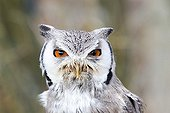Portrait of  White-faced Scops Owl  - Sologne France