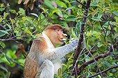 Proboscis monkey eating in forest -Malaysia Bako