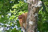 Proboscis monkey on a trunk in forest -Malaysia Bako