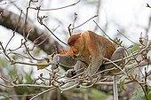 Proboscis monkey on a branch in forest -Malaysia Bako