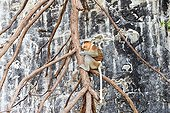 Proboscis monkey on a branch in front of a cliff - Malaysia Bako