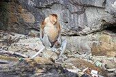 Proboscis monkey sitting at the foot of a cliff - Malaysia Bako