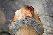 Proboscis monkey at the foot of a cliff - Malaysia Bako