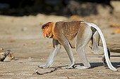 Proboscis monkey walking on the shore - Malaysia Bako