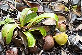 Flask-shaped Pitcher Plant in forest - Malaysia Bako