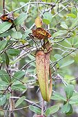 Pitcher Plant in forest - Malaysia Bako