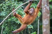 Borneo orangutan hanging from a brance - Malaysia ; Semenggoh Wildlife Rehabilitation Center