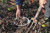 Collecting girasole tubers in a garden