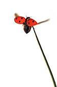7 points ladybug flying a Sedge rod on white background