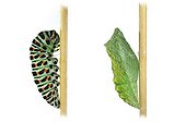 Swallowtail caterpillar and chrysalis on white background