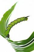 Privet Hawk-moth caterpillar balance on white background