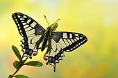 Swallowtail Butterfly on a branch Hebe - France