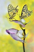Swallowtail Butterfly on Orchid flowers - France