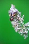 Diptera on inflorescence purple - France