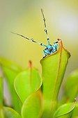 Blue beetle on urn carnivorous plant