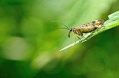 Scorpion fly on leaf  - France