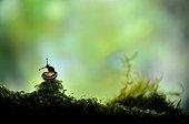 White-lip Gardensnail on Moss - France