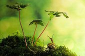 White-lip Gardensnail on moss and wild Geranium - France