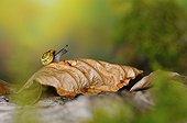 White-lip Gardensnail on dead leaf - France