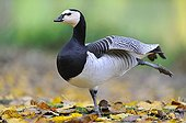 Barnacle Goose stretching in fallen leaves - France
