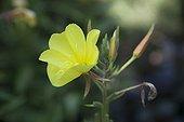 Common eveningprimerose in bloom in a garden
