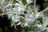Bumblebee on Miss Wilmott ghost flower in a garden