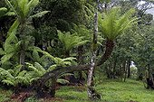 Tree ferns in the forest - Mata Atlantica Brazil