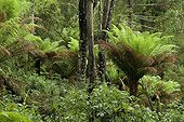 Tree ferns in the undergrowth - Mata Atlantica Brazil