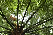 Tree Fern undergrowth - Mata Atlantica Brazil