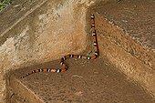 Coral snake on staircase - Iguazu Falls Parana Brazil