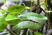 Wagler 's Pit Viper on a branch - Borneo Malaysia Bako