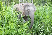 Borneo Pygmy Elephant in a clearing - Malaysia