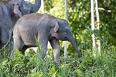 Borneo Pygmy Elephant and young in a clearing - Malaysia