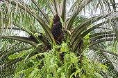 Oil palm - Sabah Borneo Malaysia