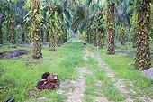 Plans Seed Oil palm - Sabah Borneo Malaysia