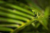 Garden mantis on a palm tree leaf - Queensland Australia
