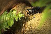 Rhinoceros Beetle - Queensland Australia