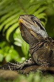 Portrait of Eastern Water Dragon - Queensland Australia
