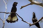 Yellow-tailed black cockatoo - Snowy Mountains Australia