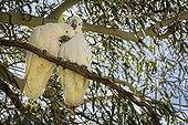 Sulphur-crested Cockatoo on a branch - Australia