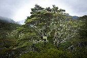 Forêt tempérée humide - Lewis Pass Area  Nouvelle-Zélande