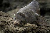 Australian sea lion on rock  - Kaikoura New Zealand