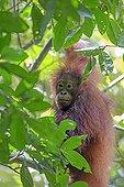 Young Borneo orangutan in the trees - Sabah Malaysia  ; Kinabatangan river bank
