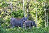 Borneo Pygmy Elephant and young - Sabah Malaysia ; Kinabatangan river bank